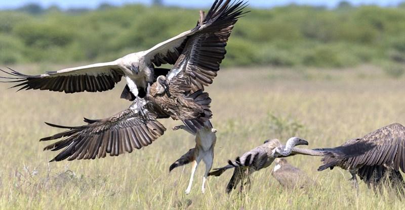 博茨瓦纳上演豺狼秃鹰大战 紧张刺激