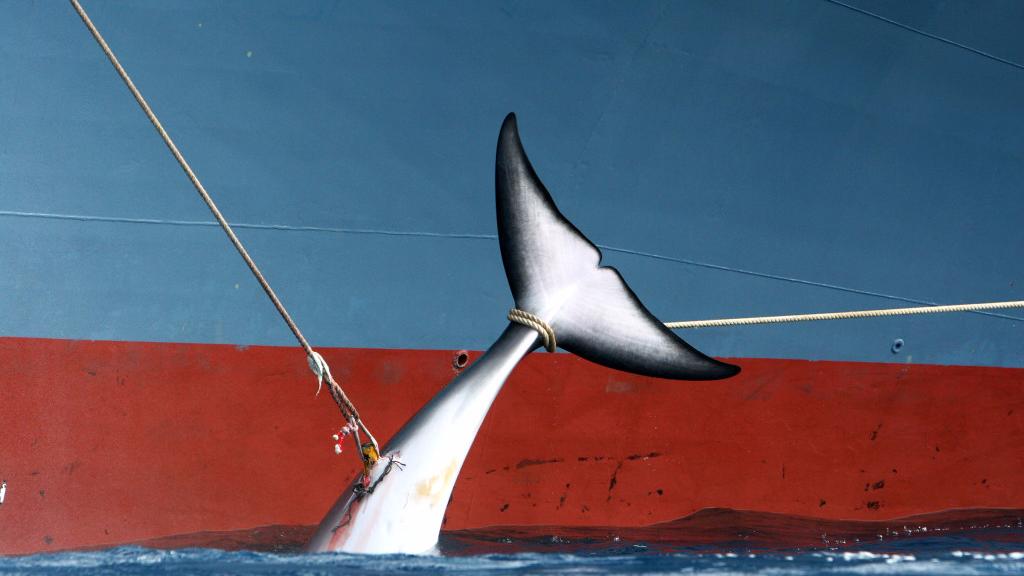 国际捕鲸委员会全会通过阻止调查捕鲸决议