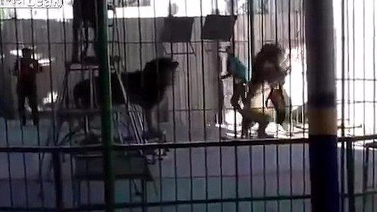 埃及一马戏团驯兽师表演时被狮子咬死