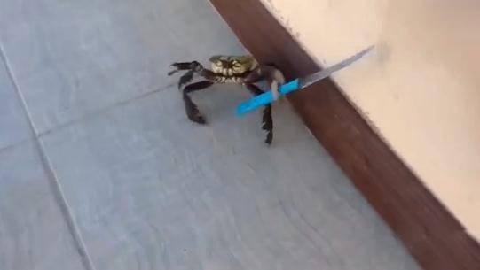 成精了!螃蟹从厨房逃走还拿了把刀子:再过来我死给你看