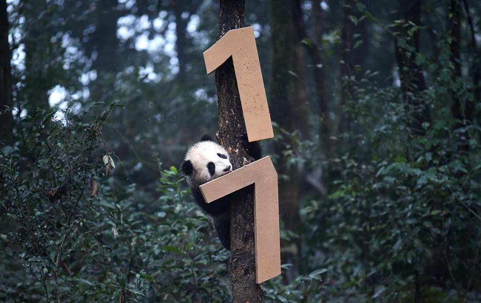 直击|萌物贺新年,2016年生大熊猫宝宝齐亮相