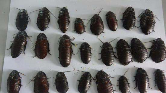 美国女孩养了超7000只蟑螂 称喜欢它们在身上爬