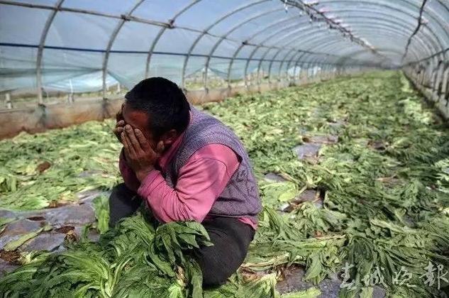 云南千吨蔬菜价低烂地:大棚里1角卖不出菜场卖6元