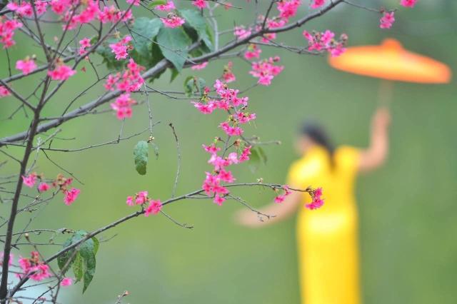 华农的紫荆花和樱花开啦!喊你来赏花