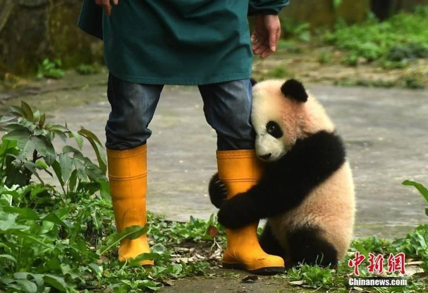 """初次见游客 大熊猫宝宝实力演绎""""抱大腿"""""""