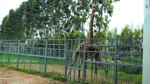 长颈鹿入园7年首诞顺产宝宝 自即日起将与市民正式见面