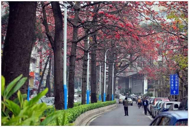 看过广州街头的木棉花,才知道木棉花开时有多美