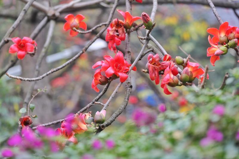 羊城木棉红艳夹道喜迎春