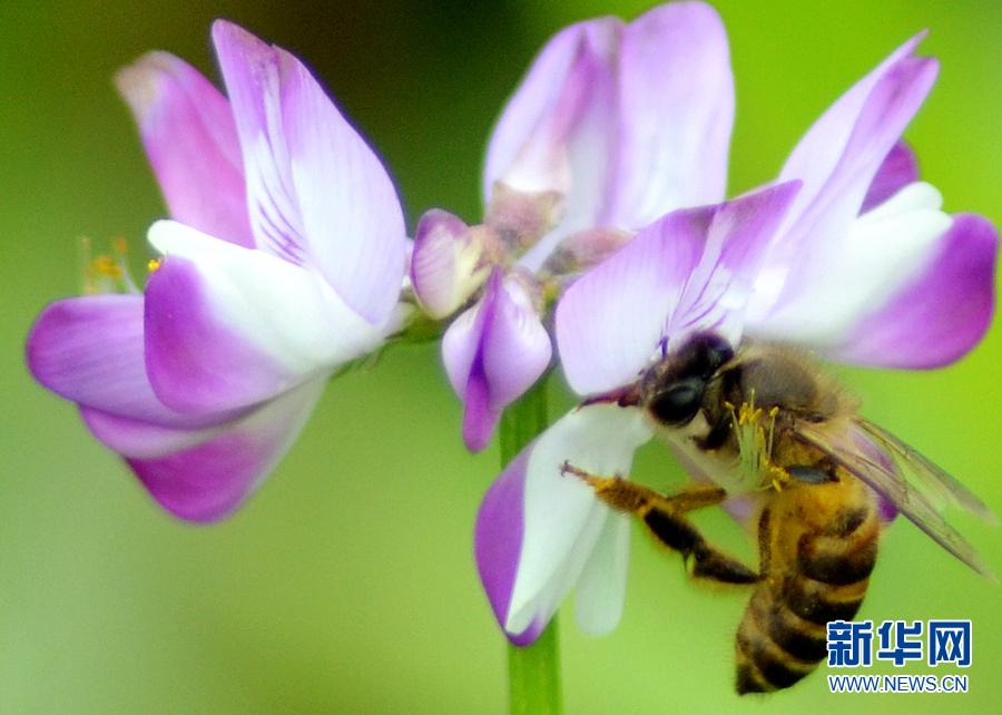 【春意盎然看广东】山间春色迷人眼 紫云英开蜜蜂来
