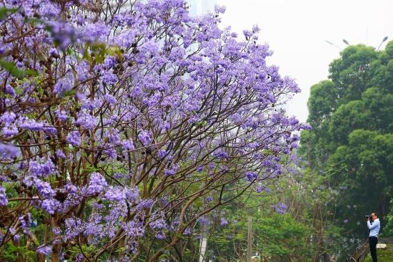 蓝花楹聚成团 最为奇幻的紫色仙境又来了