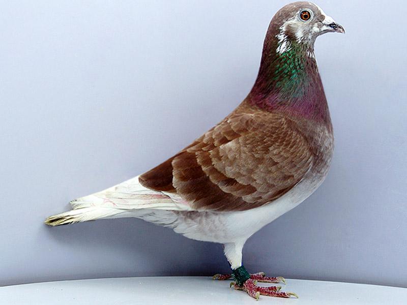 男子偷5只鸽子以为还了就没事 不料总价超6万元