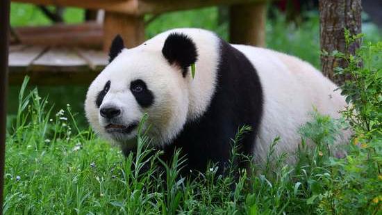 旅荷大熊猫
