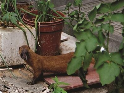 黄鼠狼成群结队嬉闹南京多小区 与居民和谐相处