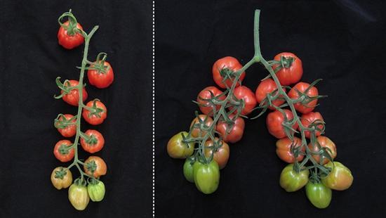 转基因番茄产量翻倍,不过多长出的圣女果好吃吗