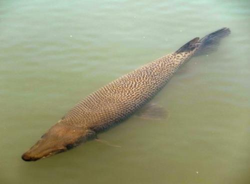 巨型食肉鱼入侵日本 体长超1米外形似鳄鱼