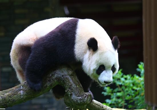 旅荷大熊猫星雅武雯首次公开亮相