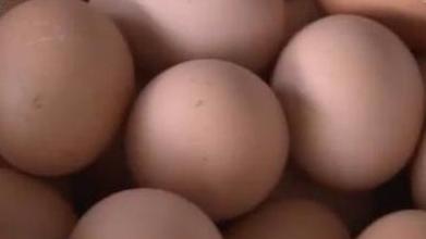 鸡蛋比20年前还便宜 养殖户15元/只贱卖母鸡