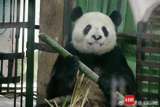 武汉大熊猫鼻头变白疑场馆环境差所致 园方回应