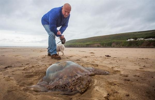 英国海滩惊现巨型透明生物:能攻击人类 喷射毒液