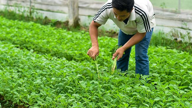 【香港回归二十周年】供港蔬菜的跨境之旅