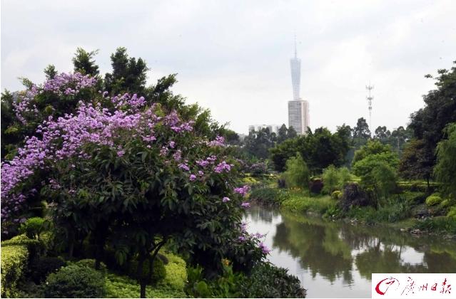 靓爆镜!广州城区道路两旁大叶紫薇盛情绽放