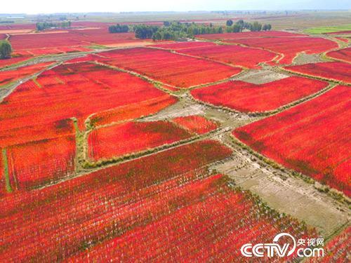 金昌市永昌县的藜麦基地。祁小松摄