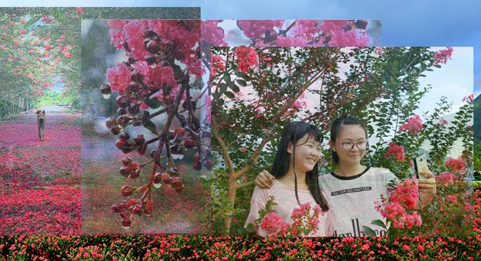 鸟瞰广州安山村:盛夏绿遮眼 紫薇红遍野