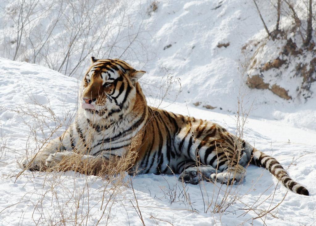 黑龙江虎林发现野生东北虎足迹 可能是一只雄虎