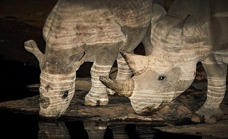 非洲黑犀牛夜间饮水 身披光影宛如画