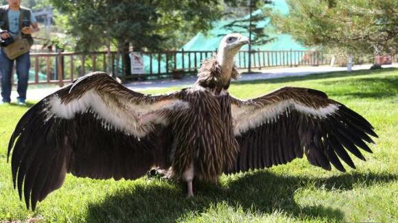 厉害!中国人工繁育成活首只高山兀鹫