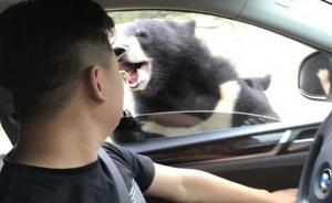 游客猛兽区开窗投食被黑熊咬伤手臂,八达岭野生动物园回应