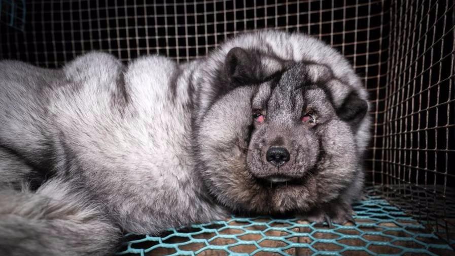 """为做毛皮大衣 狐狸被养成""""怪物"""""""
