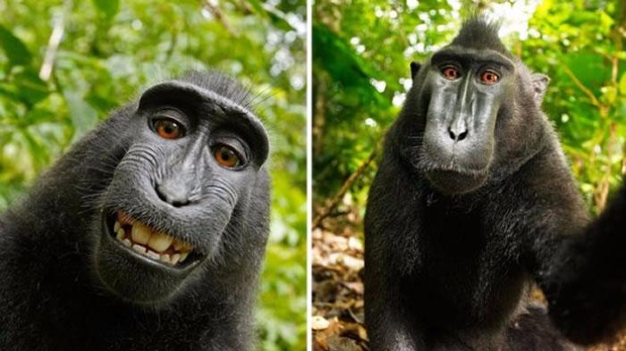 """猕猴自拍成""""网红"""" 照片版权归属法院下定论"""