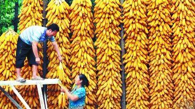 玉米产业变化深刻 产业链风险管理需求迫切