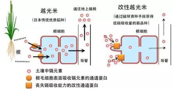 此次袁老开发的亲本除镉技术,虽然在技术细节上仍然不为公众所知,但是显然与以上几种方式截然不同。