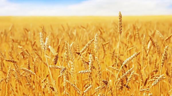 """提高小麦产量关键在于基因""""互动"""""""