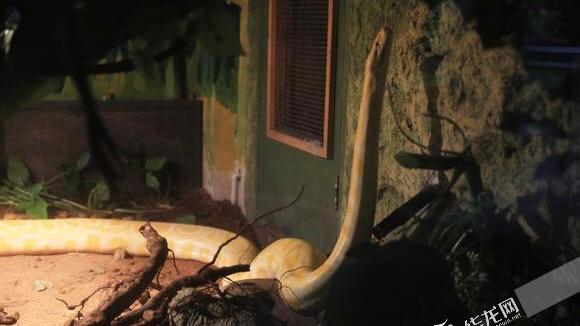 男子家中养黄金蟒当宠物 不堪重负将其送到动物园