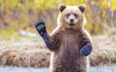 美国3只熊闯披萨店贴秋膘 走前不忘拿香肠和面团