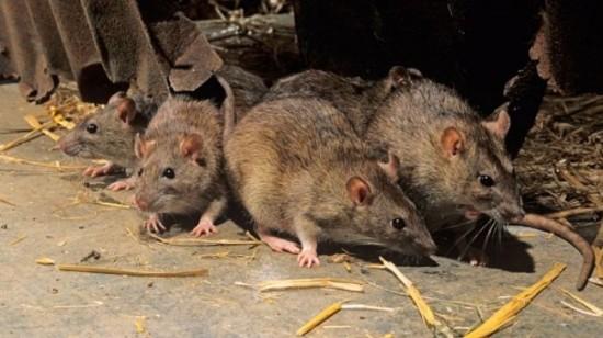 华人及旅客注意!马达加斯加鼠疫致36人丧生