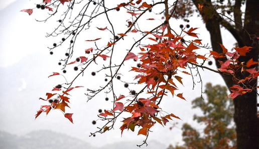 从化石门山森林公园红叶开始登场