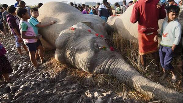 人畜冲突加剧 印度近一百天有40头大象死亡