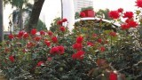 文华公园内 玫瑰花盛放快约!