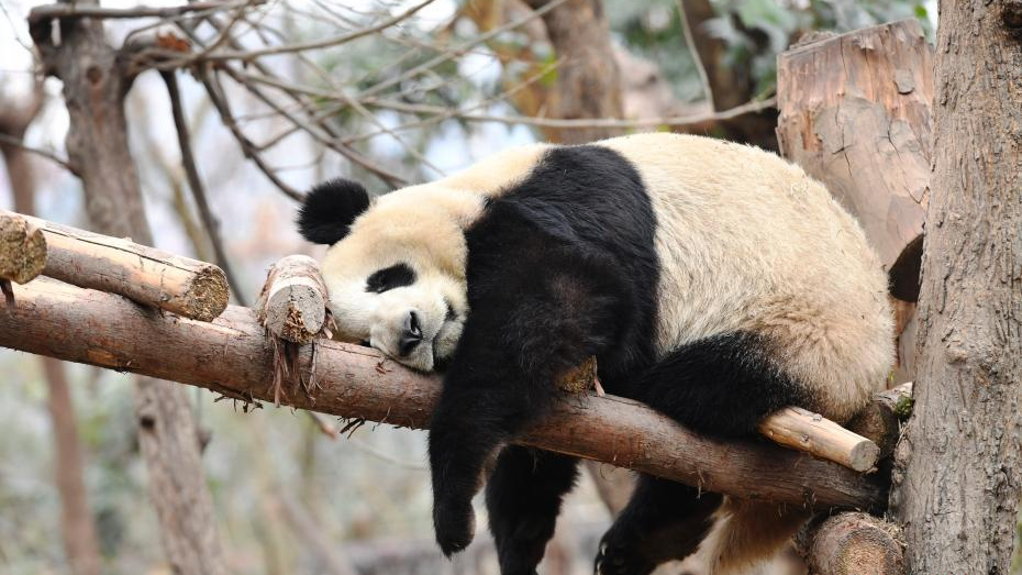 成都大熊猫冬日卖萌 迷倒粉丝一片