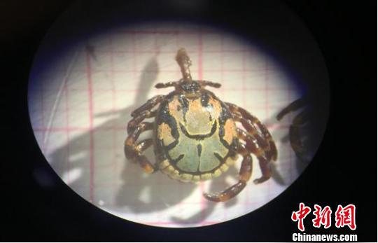 广东云浮口岸首次截获有害生物希伯来花蜱(图)