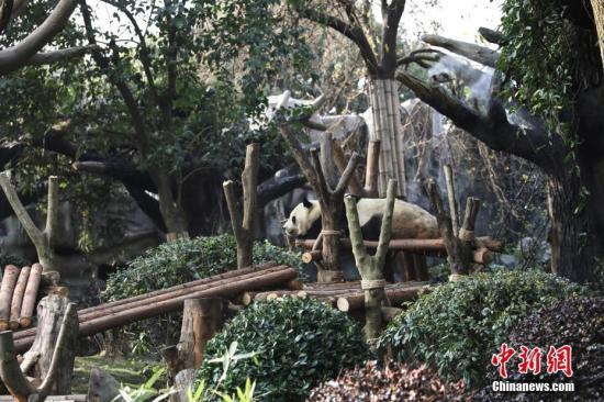 成都大熊猫基地被指虐待大熊猫收费合影 官方辟谣