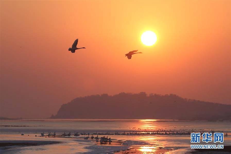 天鹅湖晨曲 山东荣成天鹅在湖畔飞翔、休憩