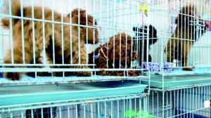 春节宠物寄养市场火爆 宠物店员工七天赚一个月工资