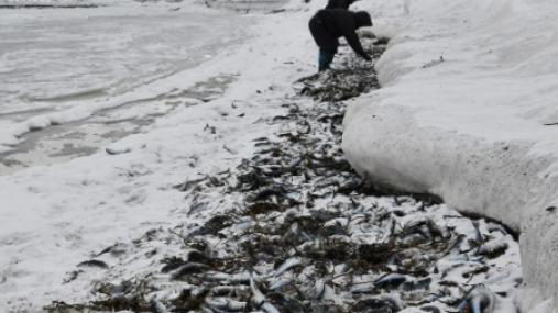 日本北海道又现大量鱼尸 渔民大喜称可做成鱼丸吃