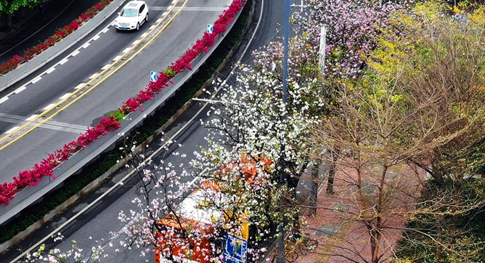 羊城早春紫金花开灿烂