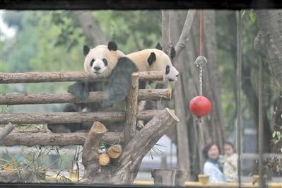 """广州动物园大熊猫馆重新开放 大熊猫""""回家""""过大年"""
